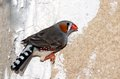 Zebra finch a colorful male standing on the wall and waiting to fly Stock Images
