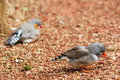 Zebra finch taeniopygia guttata staying on ground Stock Image