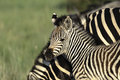 Zebra foal burchells in golden light Royalty Free Stock Photography