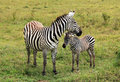Zebra with foal plains equus quagga lake nakuru kenya Stock Image