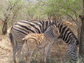 Zebra with foal still showing brown colurs and bitten off tail Stock Photos