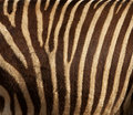 Zebra fur Royalty Free Stock Image