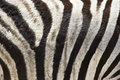 Zebra Fur Stock Photography