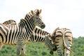 Zebra gang Royalty Free Stock Photo
