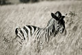 Zebra in grassland black and white picture of a Royalty Free Stock Photo