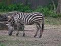 Zebra grazing Royalty Free Stock Photo