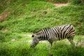 Zebra grazing in a field Stock Photo