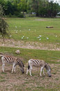 Zebra grazing reserve natural lighting Royalty Free Stock Photos