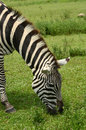 Zebra grazing wild in its natural environment Royalty Free Stock Images