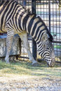Zebra grazing at the zoo in bucharest romania Royalty Free Stock Image