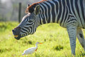 Zebra grimacing at egret a grimaces a white cattle a private game park in port elizabeth south africa Stock Images
