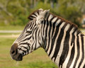 Zebra head Royalty Free Stock Photos