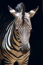 Zebra the head close up of Stock Photos