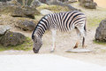 Zebra with the head down looking for the food Royalty Free Stock Photos