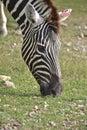 Zebra head a graze in field Stock Images