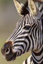 Zebra Head Portrait Alert Stock Images