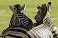 Zebra head resting its on another zebras back while standing in bright sunlight Stock Photo