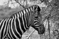 Zebra head side profile picture balck and white beautiful healthy standing proud in the south african bushveld black Royalty Free Stock Photography