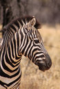 Zebra head side profile picture beautiful healthy standing proud in the south african bushveld Stock Image