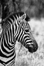 Zebra head side profile picture black and white beautiful healthy standing proud in the south african bushveld Royalty Free Stock Photo