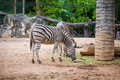 Zebra herbivorous mammal of the african savannah zebras Stock Images