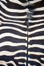 Zebra hide showing abstract striped pattern Stock Images