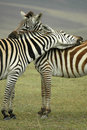 Zebra Hug Royalty Free Stock Photo