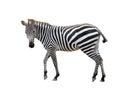Zebra isolated Royalty Free Stock Photo
