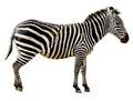 Zebra isolated on white background Royalty Free Stock Photo