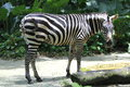 Zebra with its distinctive stripes Stock Images