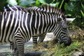 Zebra with its distinctive stripes Stock Photo
