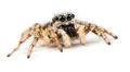 Zebra jumping spider salticus scenicus on a white background Royalty Free Stock Images