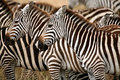 Zebra (Kenya) Royalty Free Stock Photography