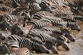 Zebra (Kenya) Stock Image