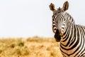 Zebra kenya s tsavo reserve kenya africa Stock Images