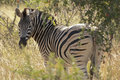 Zebra in Kruger National Park Royalty Free Stock Images