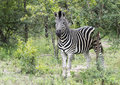 Zebra in the kruger national reserve south africa Stock Image