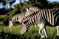 Zebra in late sun a trio of graze at the kragga kamma game park port elizabeth south africa Royalty Free Stock Images