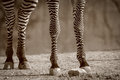 Zebra legs this has very attractively patterned Stock Photography