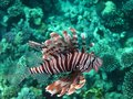 Zebra lionfish pterois volitans among the corals on a reef in the red sea sharm el sheikh egypt Royalty Free Stock Photos