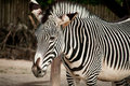 Zebra in lisbon zoo the standing portugal Stock Photo