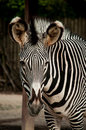 Zebra in lisbon zoo the standing portugal Stock Photography