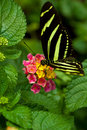 Zebra Longwing butterfly Royalty Free Stock Image