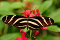 Zebra Longwing Butterfly,Heliconius charitonia Royalty Free Stock Image