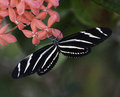 Zebra longwing butterfly on ixora flower black and white striped longing pink flowers against a blurred green and multicolored Stock Photos