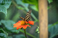 Zebra longwing butterfly on a orange flower