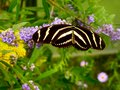 Zebra Longwing Black White Striped Heliconian Butterfly