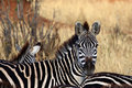 Zebra look on the serengeti tanzania Royalty Free Stock Photo