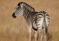 Zebra looking over shoulder Royalty Free Stock Photo