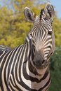 Zebra looking us funny Stock Photos